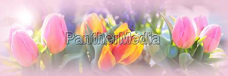 pink tulips still life