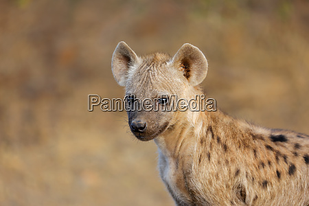 young spotted hyena kruger national