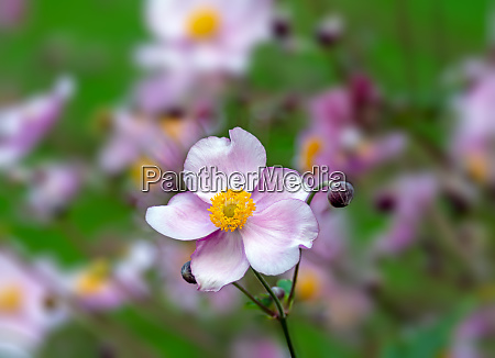 blossom of an anemone flower