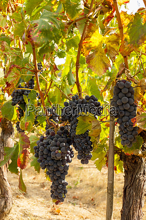 ripe red grape clusters on the