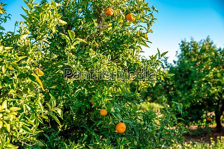 mandarin fields for planting fruit for