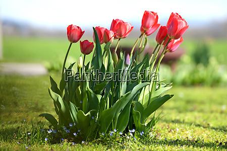 tulpen auf einer wiese tulips