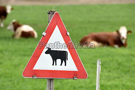 kuehe auf einer weide cows