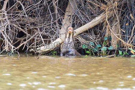 giant otter from pantanal brazil