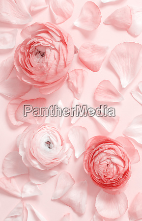 pink ranunculus flowers and petals on