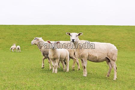 cute, white, sheep, on, green, meadow - 28215936