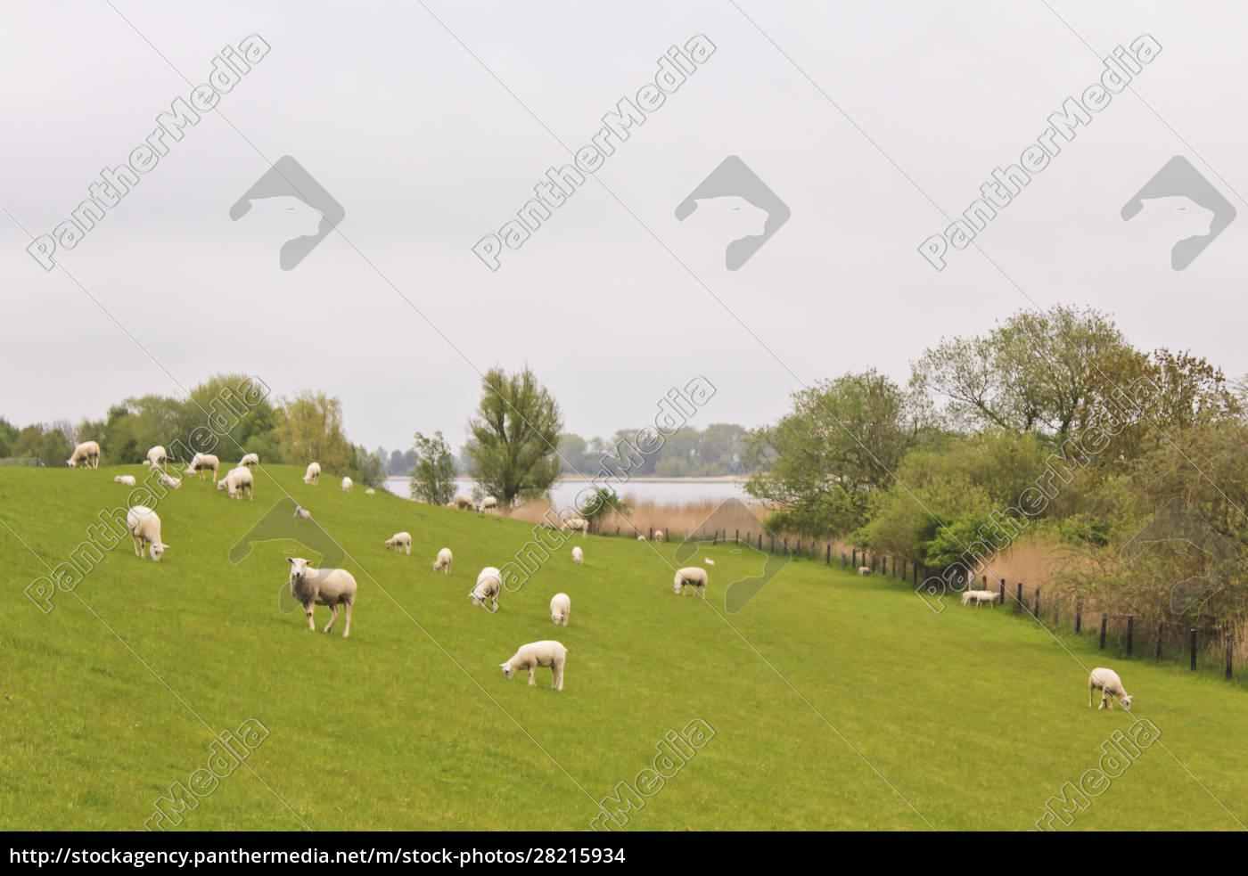 many, cute, white, sheep, on, green - 28215934