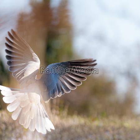 pigeon, in, flight - 28215242