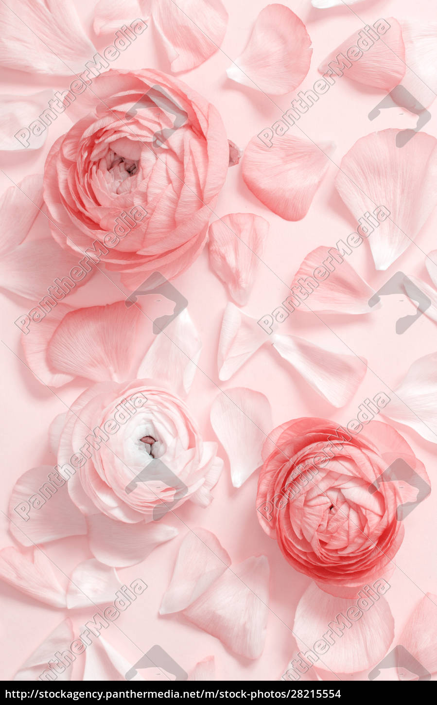 pink, ranunculus, flowers, and, petals, on - 28215554