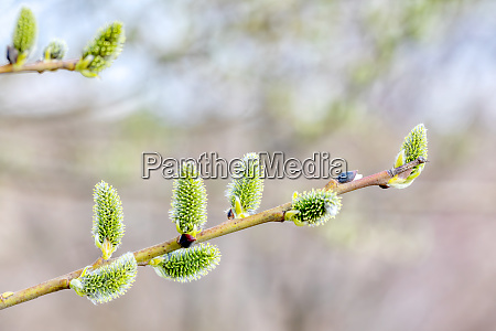 pussy-willow, holiday, , spring, background - 28215268