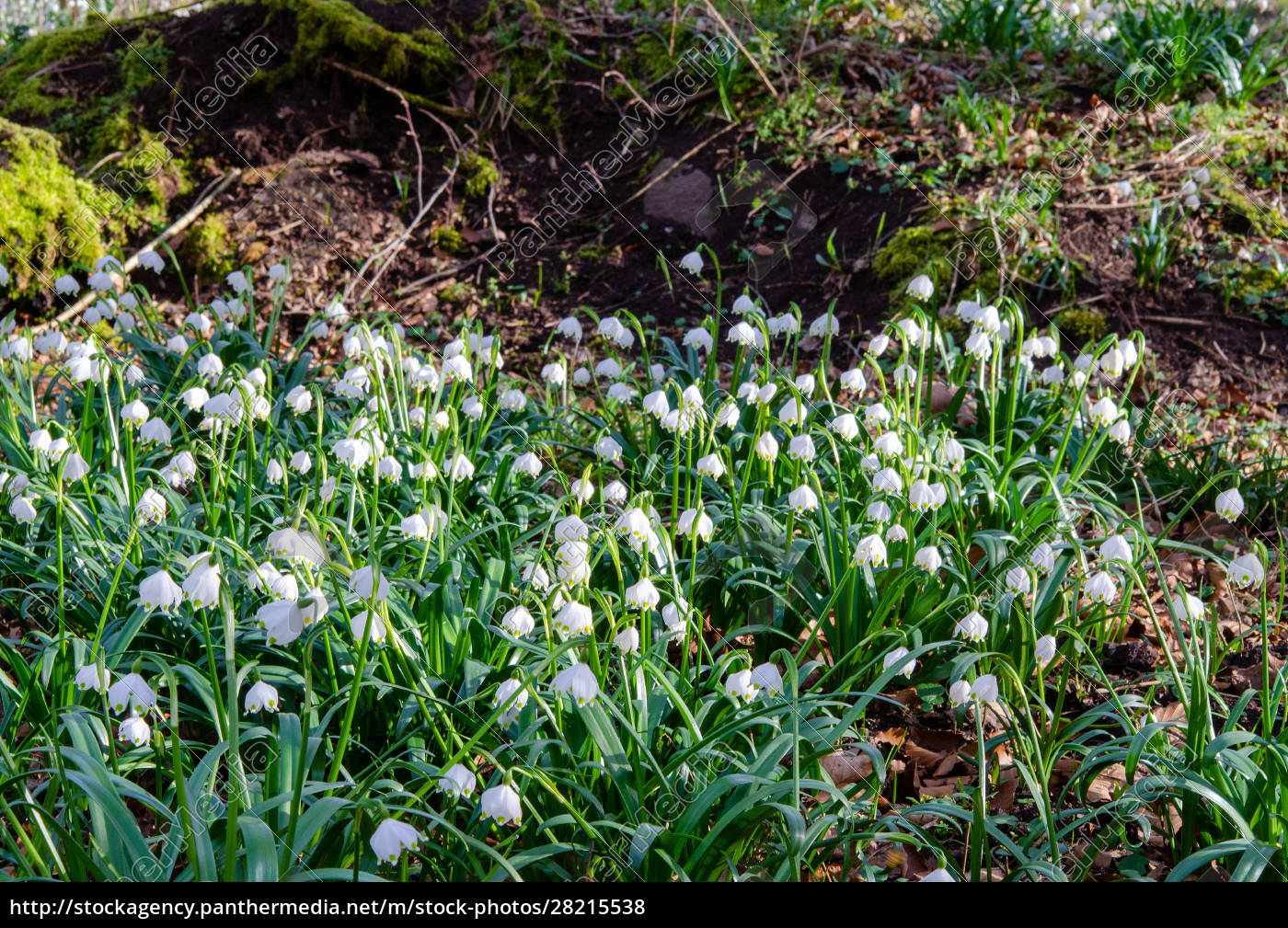 spring, knot, flower, in, the, forest - 28215538