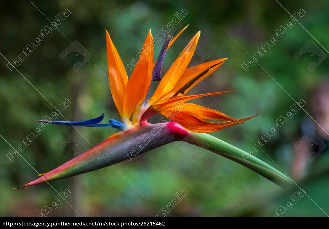 tropical, flower, strelitzia, or, bird, of - 28215462