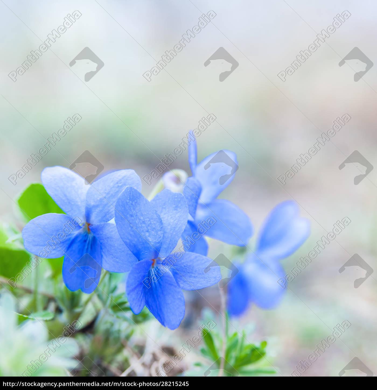 violet, flower, in, spring, in, bloom - 28215245