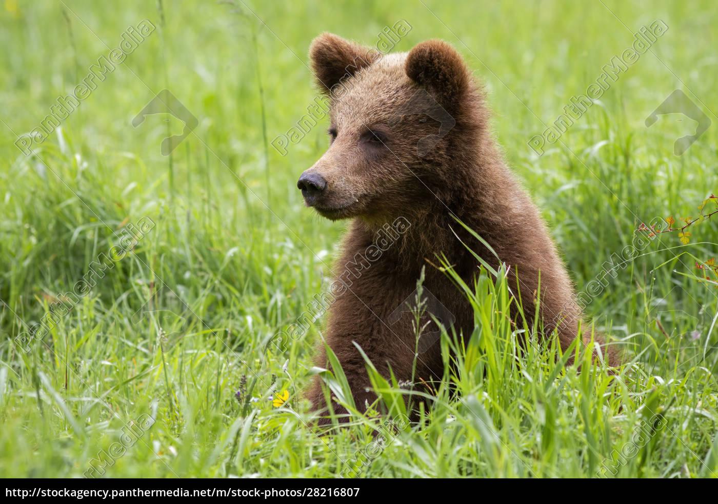 adorable, brown, bear, cub, sitting, in - 28216807