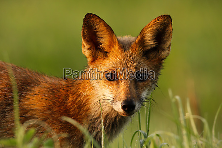 close-up, of, a, red, fox, wet - 28216924