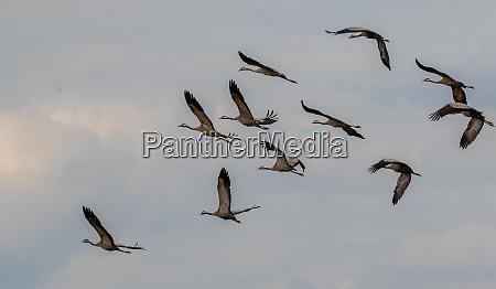 common, crane, (grus, grus), in, flight - 28216210