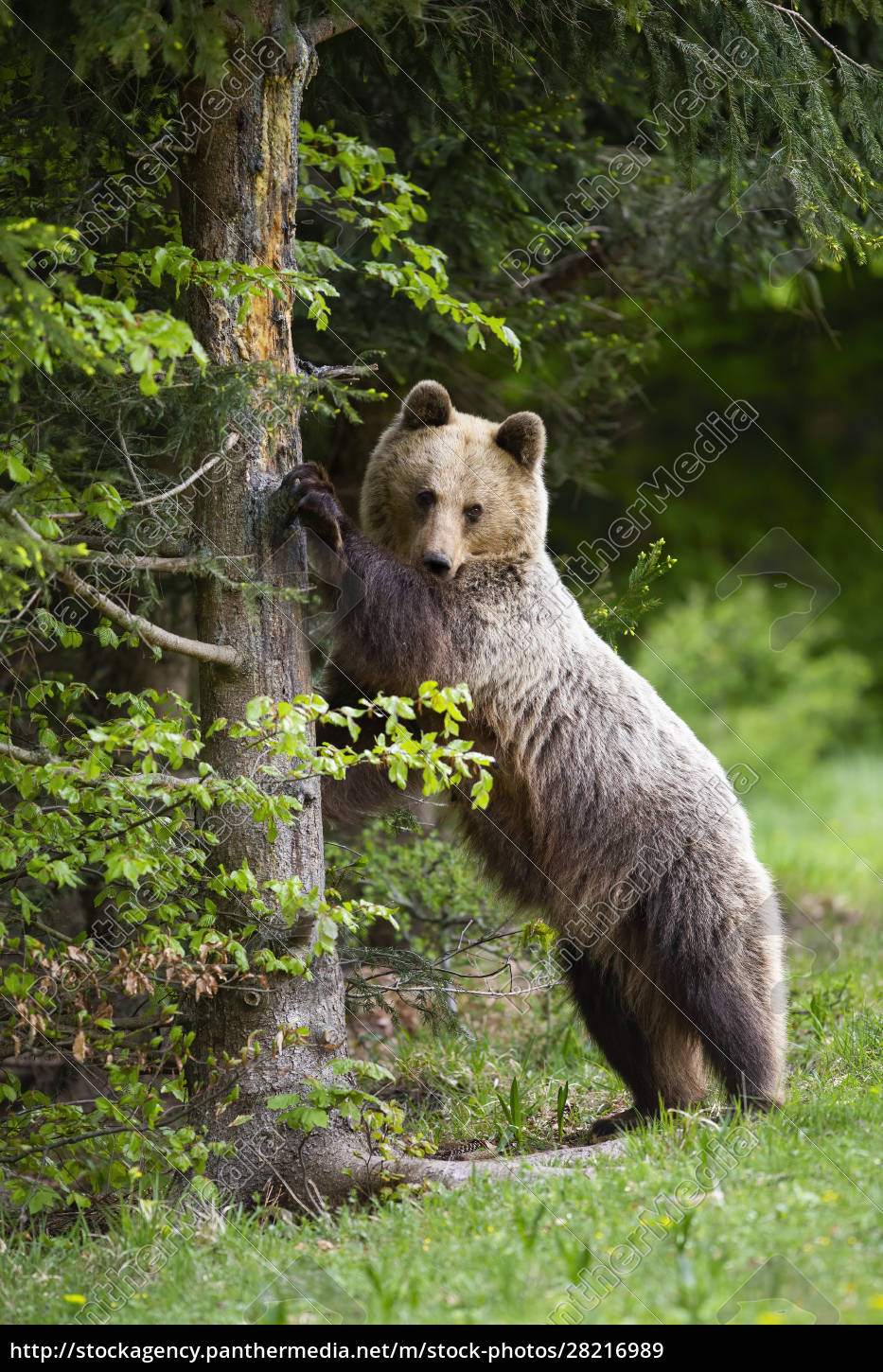 curious, brown, bear, standing, in, upright - 28216989