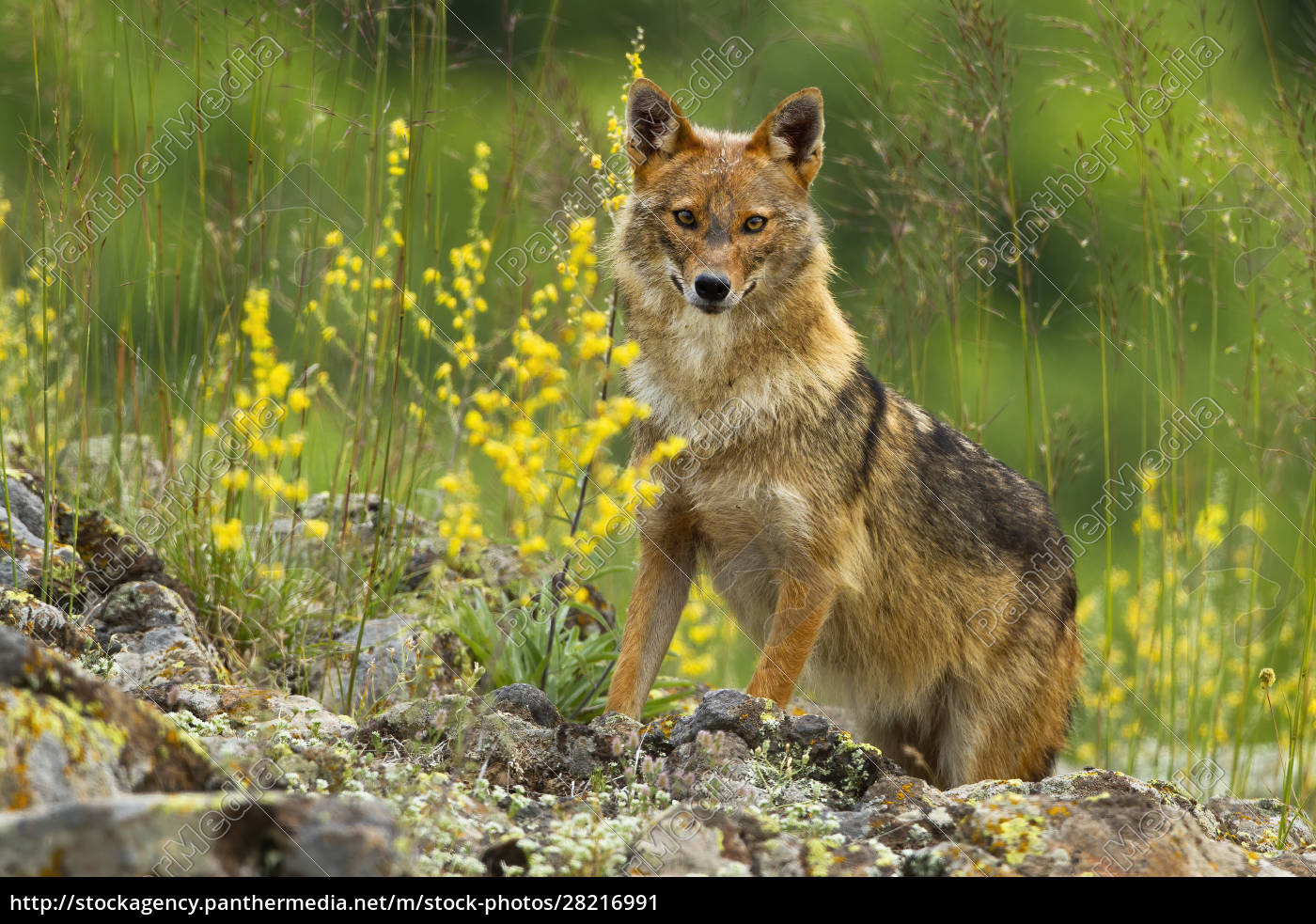 curious, golden, jackal, standing, on, rocks - 28216991