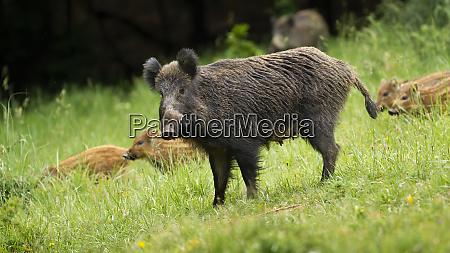 dangerous, female, wild, boar, protecting, her - 28216806