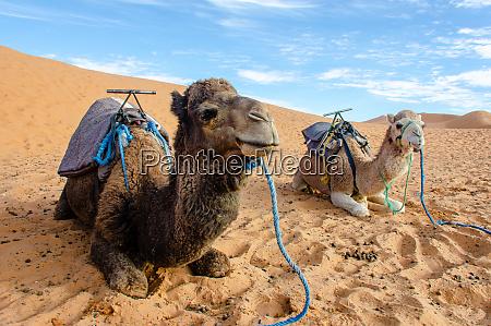 dromedaries, of, the, sahara, desert, , morocco - 28216575