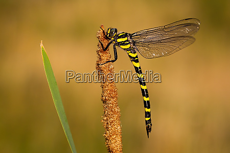 golden, ringed, dragonfly, with, black, and - 28216693