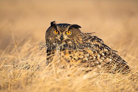 scared, eurasian, eagle-owl, hiding, in, grass - 28216691