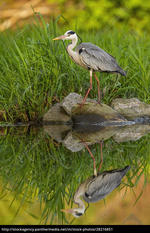 still, grey, heron, standing, on, a - 28216851