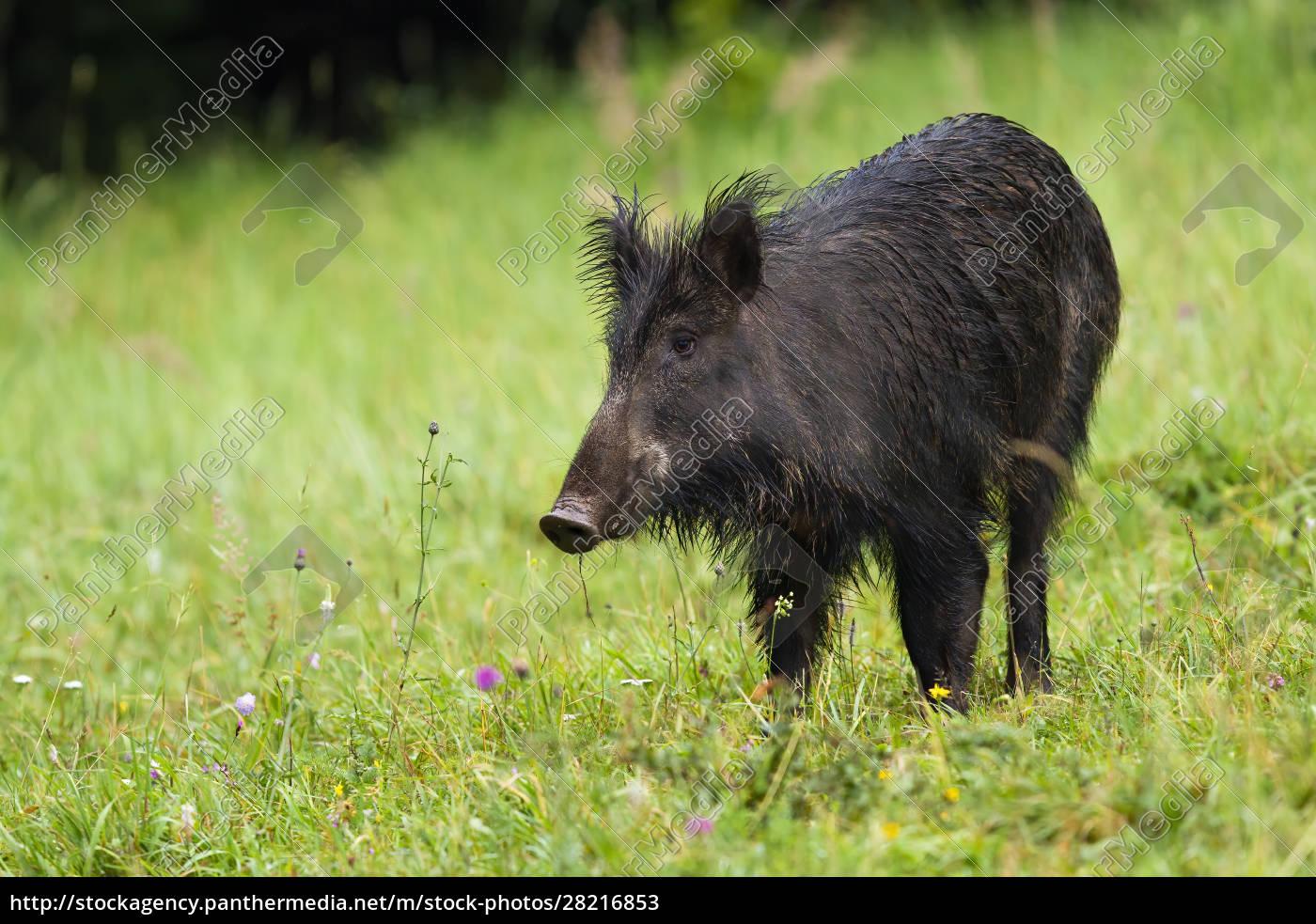 unaware, wild, boar, on, hay, field - 28216853