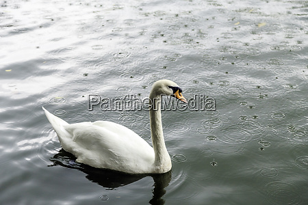 white, swan, in, a, pond - 28216194