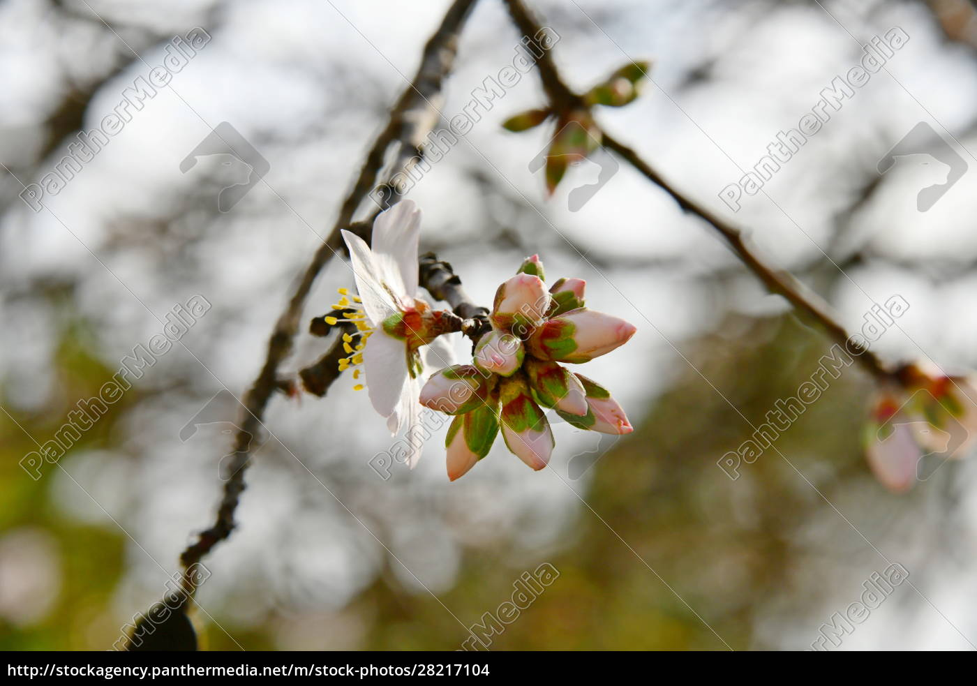 blossoms, on, almond, tree, , alicante, province, - 28217104