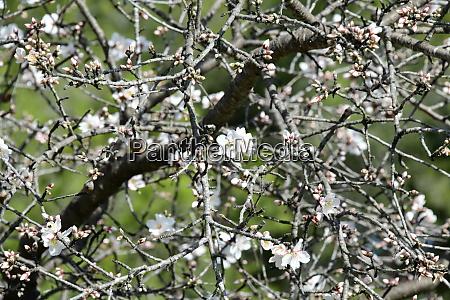 blossoms, on, almond, tree, , alicante, province, - 28217237