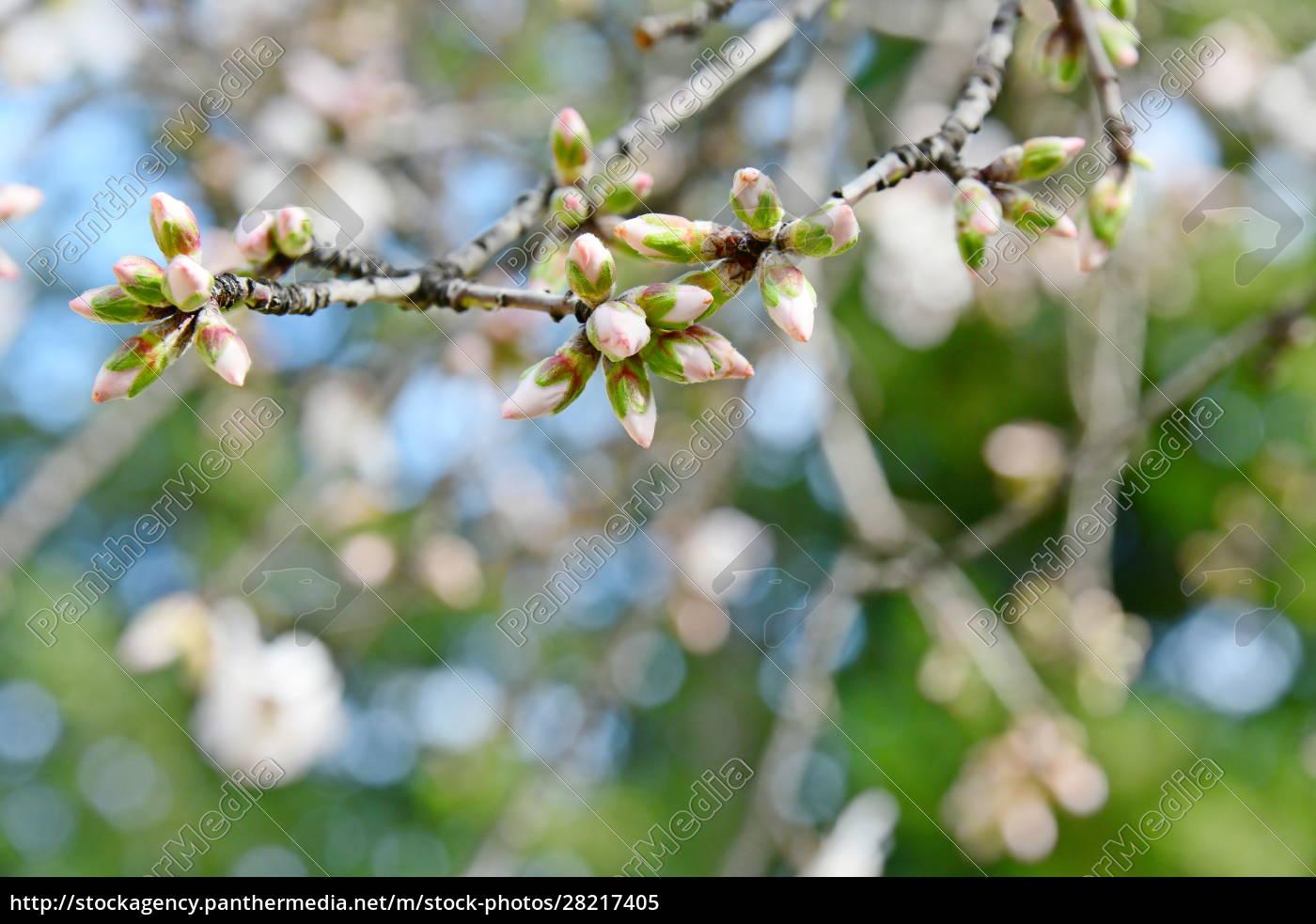 blossoms, on, almond, tree, , alicante, province, - 28217405