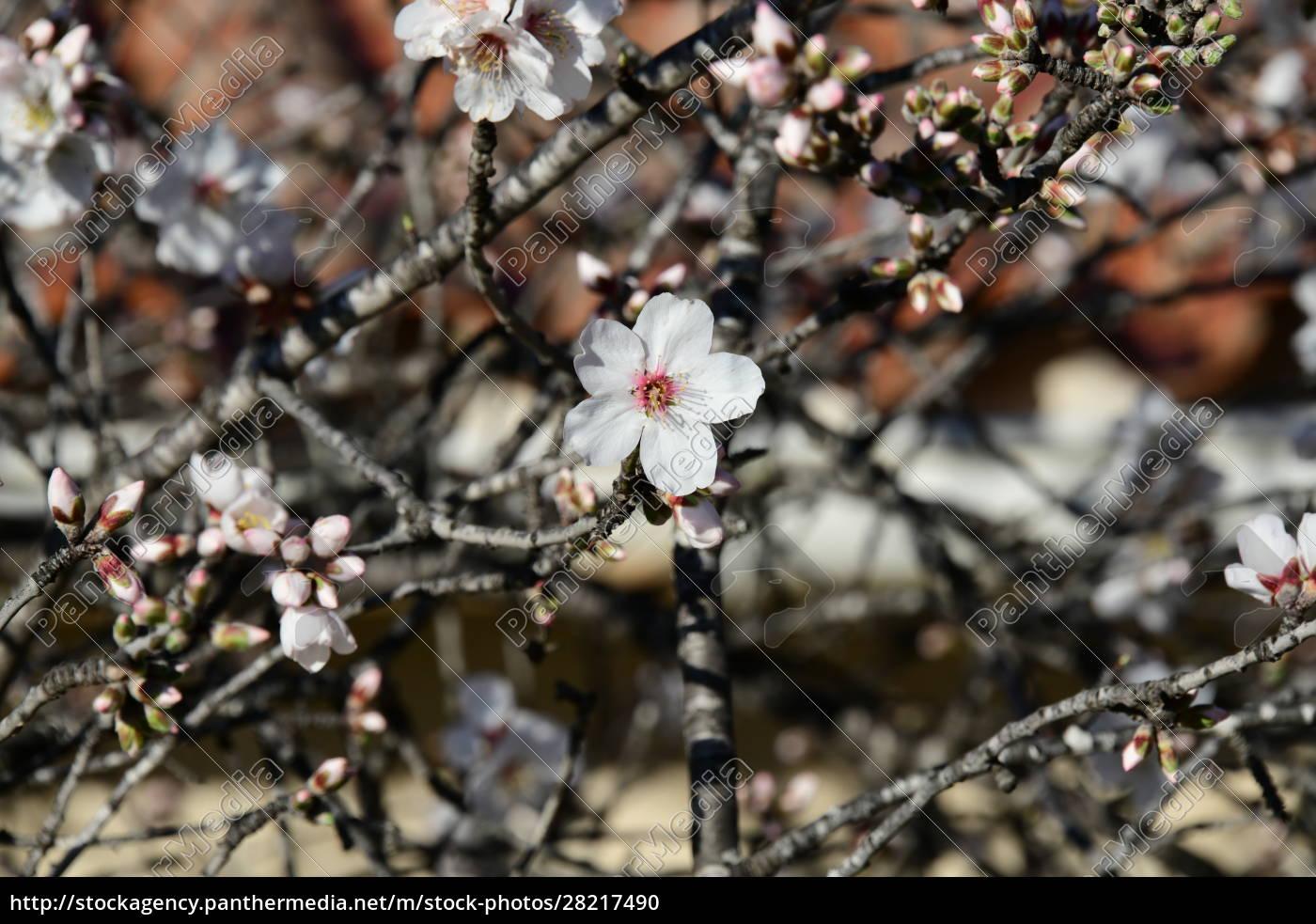 blossoms, on, almond, tree, , alicante, province, - 28217490