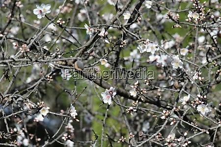blossoms, on, almond, tree, , alicante, province, - 28217506