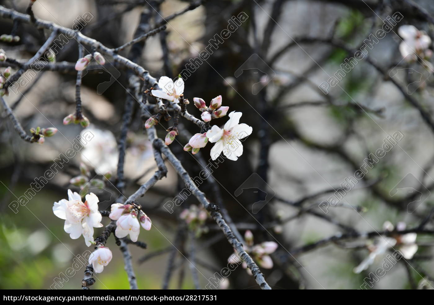 blossoms, on, almond, tree, , alicante, province, - 28217531