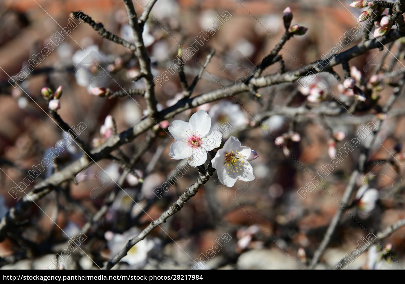 blossoms, on, almond, tree, , alicante, province, - 28217984