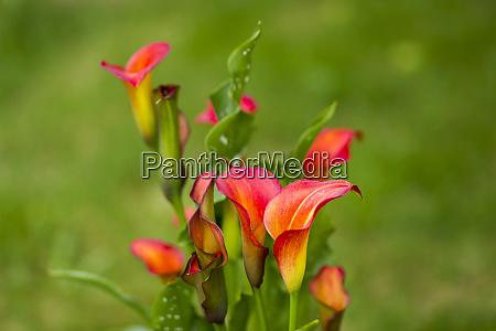 calla, flowers, in, the, garden - 28217710