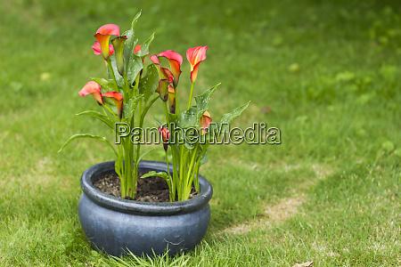 calla, flowers, in, the, garden - 28217734