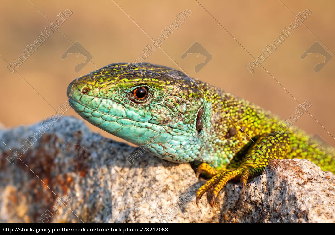 close-up, of, a, male, european, green - 28217068