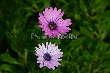 flowering, daisies, on, the, costa, blanca, - 28217152