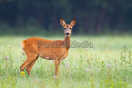 innocent, roe, deer, doe, facing, camera - 28217064