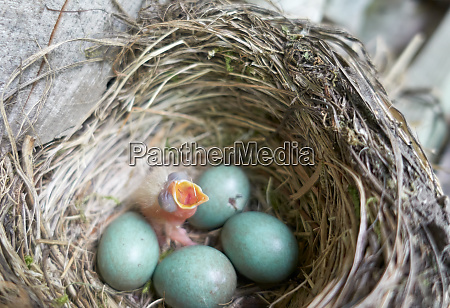 newly, hatched, hairy, fieldfare, chick, in - 28217825