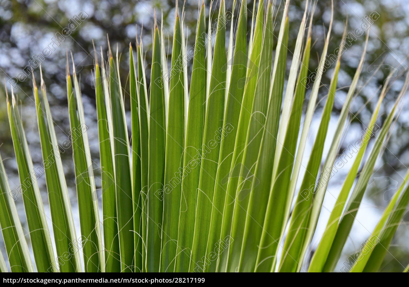 palm, leaves, in, the, province, of - 28217199