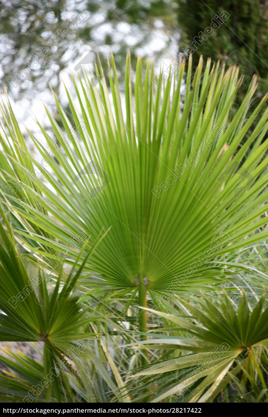 palm, leaves, in, the, province, of - 28217422
