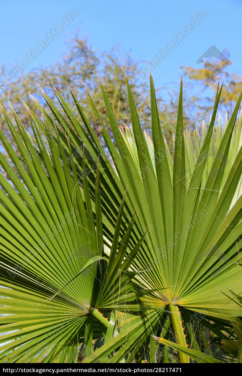 palm, leaves, in, the, province, of - 28217471