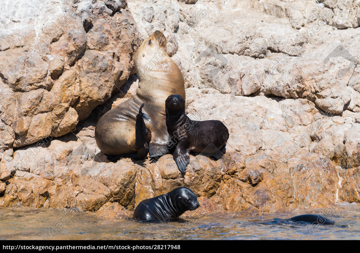 sea, lion, mother, with, babys, , beagle - 28217948