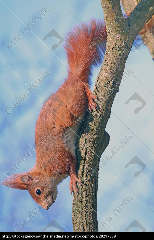 squirrel, sciurus, vulgaris, climbs, in, the - 28217389