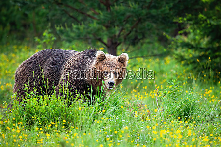 strong, brown, bear, sneaking, from, behind - 28217067