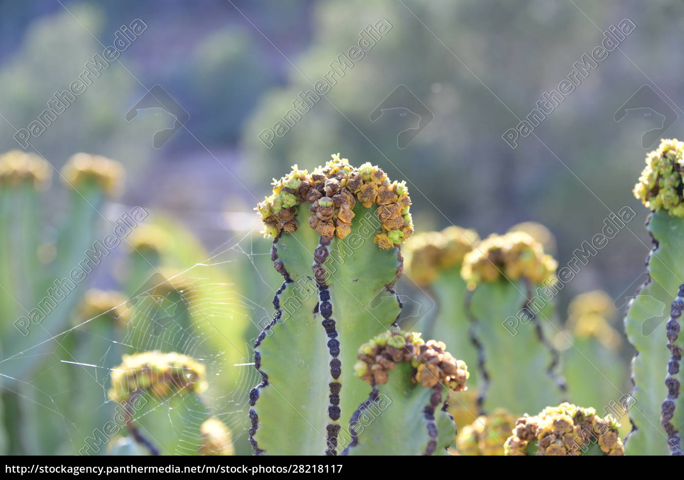 a, cactus, in, bloom, in, the - 28218117