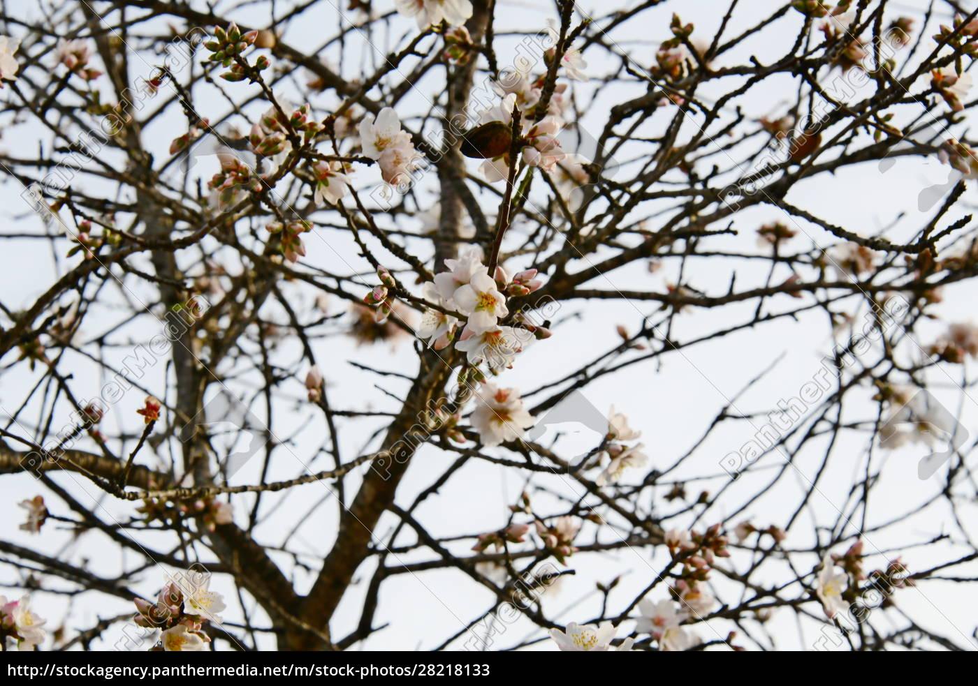 blossoms, on, almond, tree, , alicante, province, - 28218133